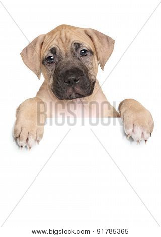 Staffordshire Terrier Puppy Above Banner