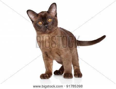 Burma Kitten