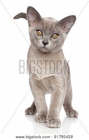 Burmese Kitten Close-up Portrait