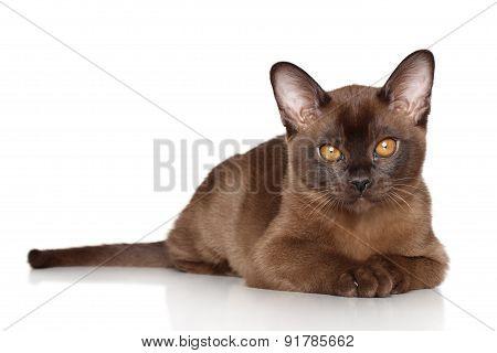 Burma Kitten Lying