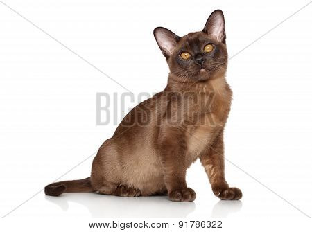 Burma Kitten Sits On White Backgound