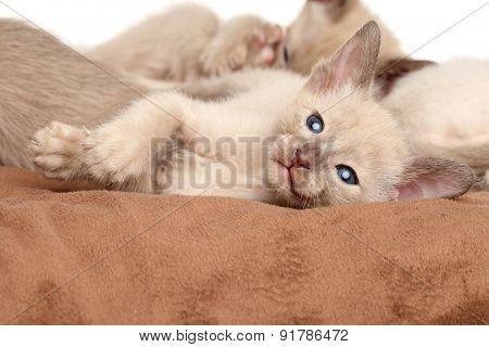 Oriental Kittens Resting