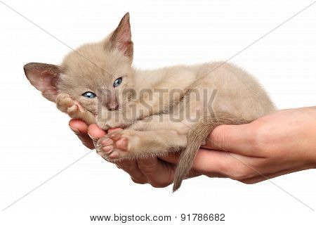 Kitten On Hands
