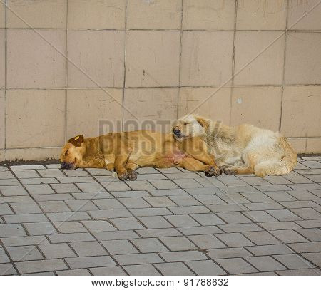 Stray Dogs Bask In The Sun