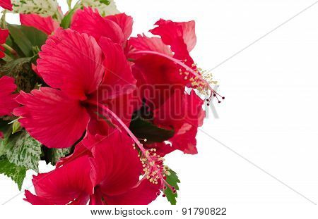 Red 'china Rose' Flowers