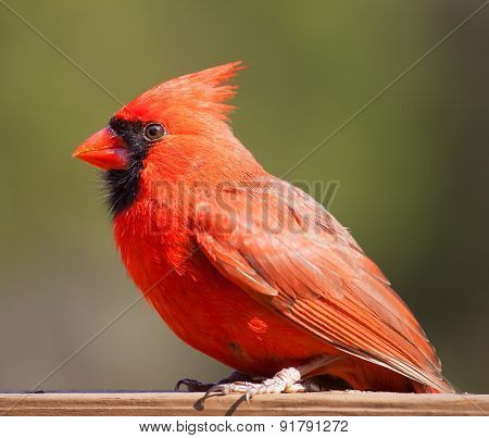 Red Cardinal With Green Behind