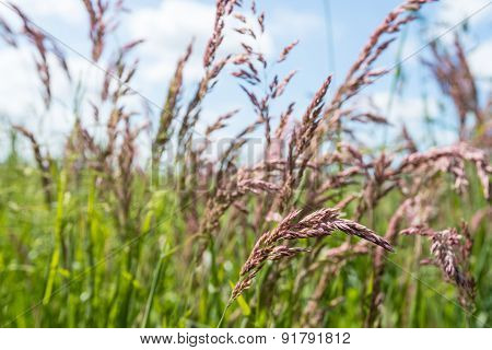 Purple Blooming Grass Plants Form Close