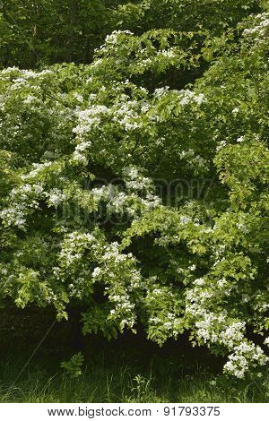 May Or Hawthorn In Flower