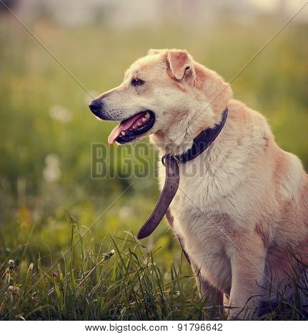 Portrait Of The Beige Dog Sitting In A Grass.
