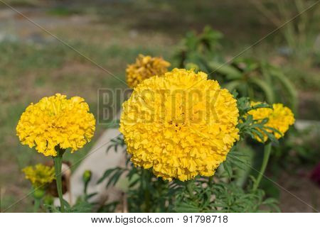 marigold flower with the leaf