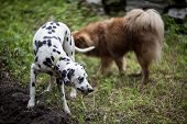 stock photo of eat grass  - Two funny dogs eating grass outdoors at summer - JPG