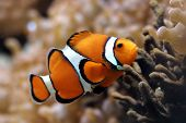 foto of clown fish  - Clown fish - JPG