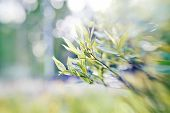picture of willow  - Willow branches on blurred background with bokeh - JPG