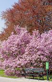 pic of tram  - Tram stop under a blossomed magnolia pink tree - JPG