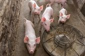 image of piglet  - piglets at farm - JPG