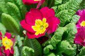 foto of primrose  - closeup of beautiful red primrose in garden  - JPG