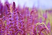 image of purple sage  - Sage flowers - JPG