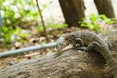 pic of komodo dragon  - Komodo in garden of Thailand close up - JPG