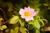 pic of wild-brier  - A nice pink briar rose under the warm spring sun - JPG