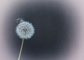 stock photo of homogeneous  - Fluffy dandelion on a homogeneous background. Stylized retro photo ** Note: Visible grain at 100%, best at smaller sizes - JPG