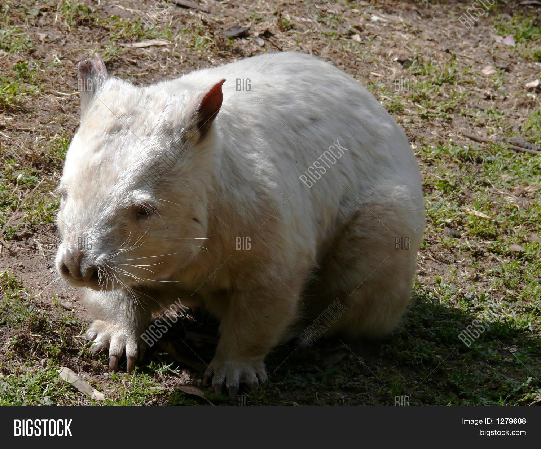 Albino wombat - photo#11