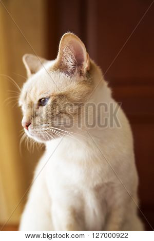 Portrait of little Mekong cat looking left