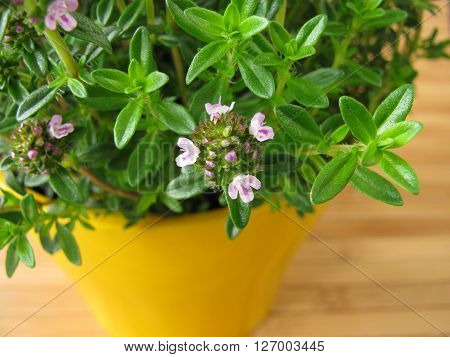 Winter savory with flowers in yellow flowerpot