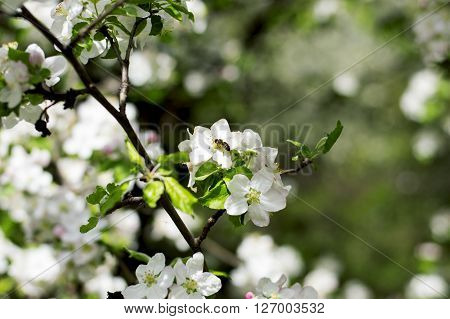 the blossoming apple-tree bee collects nectar a subject spring fruit trees blossoming ** Note: Shallow depth of field