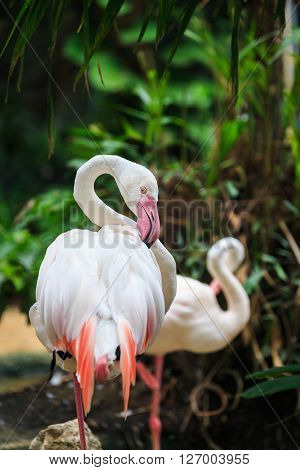 Close focus on eye of flamingo pecking its wing in forest