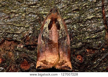 Large fruit-tree tortrix (Archips podana) micro moth from above. Small British insect in the family Tortricidae, in the order Lepidoptera, at rest