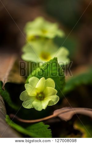Artistic blur effect of beautiful wild primrose flowers, Primula vulgaris, in the forest, on a sunny spring day