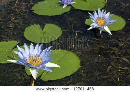 Green Lilly Pads On Pond With Blue Lotus Flowers