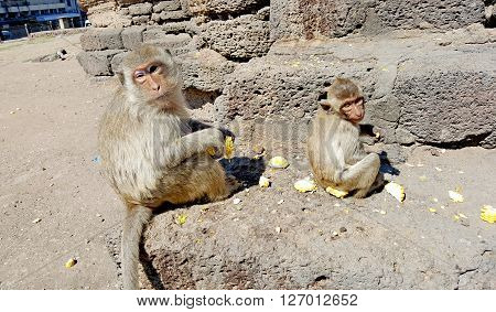 Monkey family sitting on the ground and eating corns at temple in Thailand