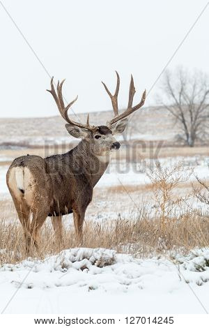 a nice mule deer buck in snow covered landscape