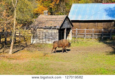 Young aurochs in the reserve and forest ** Note: Soft Focus at 100%, best at smaller sizes