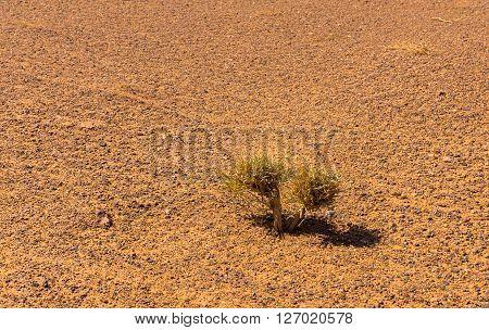small green shrub in the Sahara desert