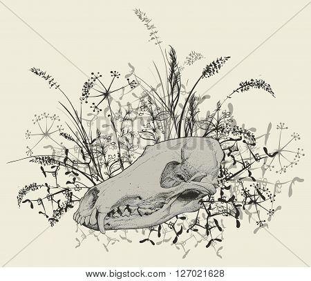 Vector illustration. Hand drawing of a skull of a predator among  grasses on a white background.