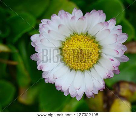 detail of flowering daisies South Bohemia Czech Republic