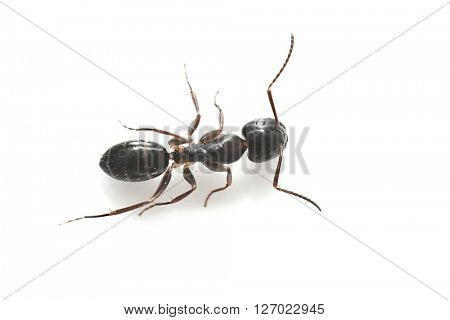 Black garden ant isolated on white background