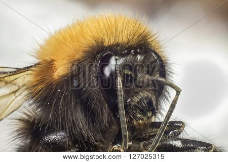 the head of a bumblebee which is taken a close-up a makpro