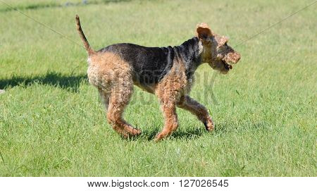 A Welsh Terrier Running on Grass Lawn