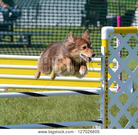 LAKE ELMO, MN - JUNE 8 2016: Miniature American (formerly Australian) Shepherd Leaping Over a Jump at Dog Agility Trial