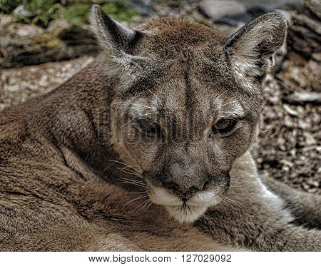 Close up of an adult mountain lion