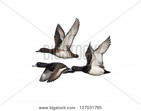Three Tufted ducks in flight isolated on a white background