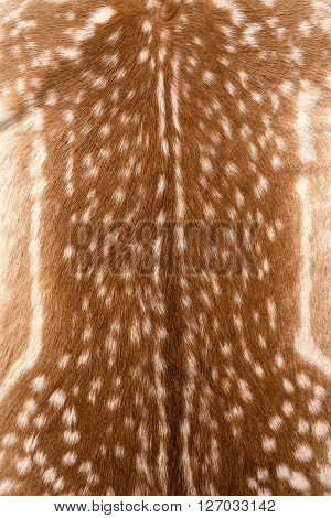 texture of real axis sika deer fur