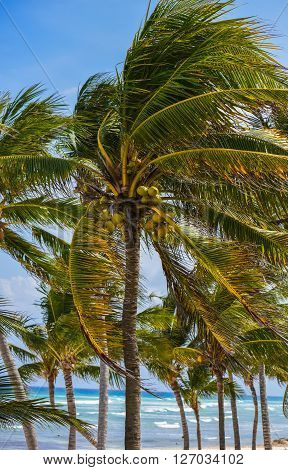Palm tress on the beach in Mexico