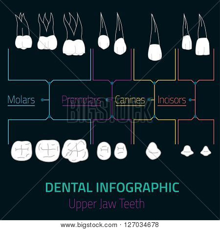 Human teeth dental infographic. Editable vector illustration with upper jaw teeth. Medical image with white teeth in modern style useful for poster, leaflet or brochure graphic design.