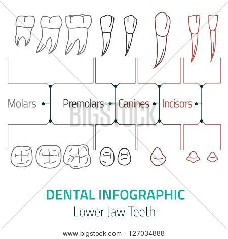 Human teeth dental infographic. Editable vector illustration with Lower jaw teeth. Medical image on a white background useful for poster, leaflet or brochure graphic design.