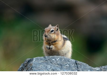 Chipmunk in Banff national park in Canada.