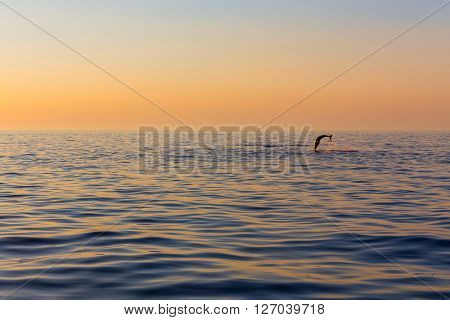 Dolphin, In The Background A Beautiful Sunset